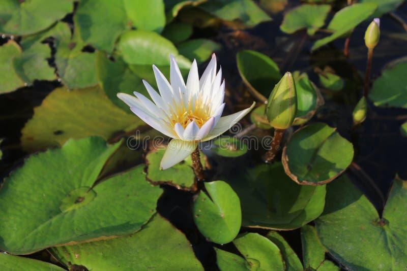 Fleur de lotus blanc avec des feuilles images libres de droits