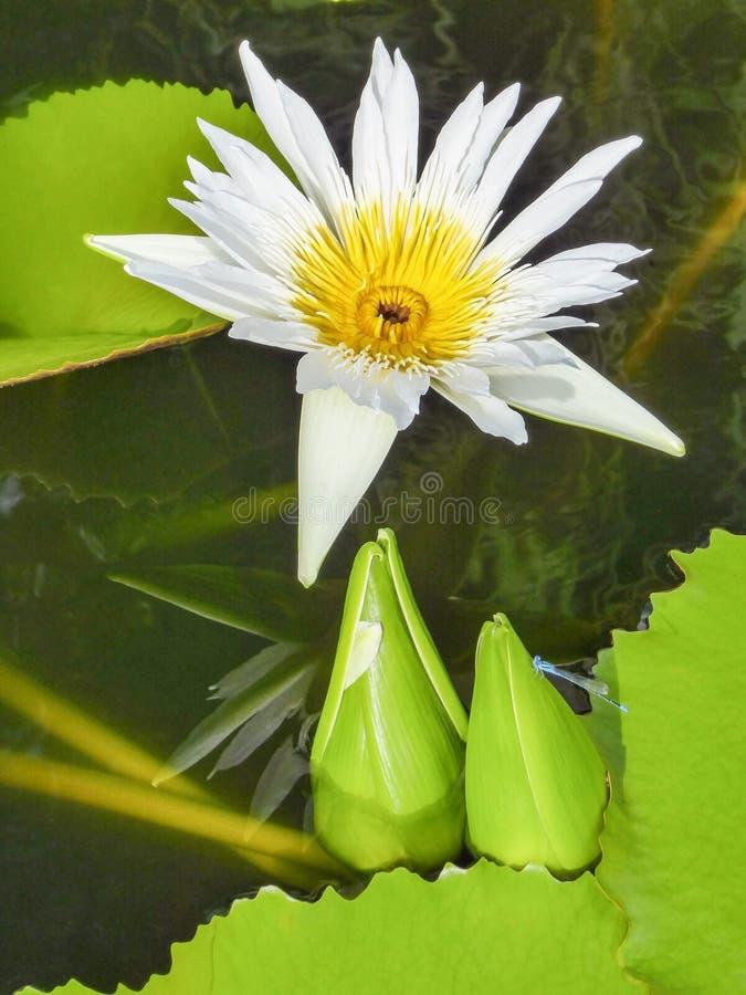 Fleur de lotus blanc et feuilles vertes de lotus dans un étang avec la libellule bleue photos libres de droits