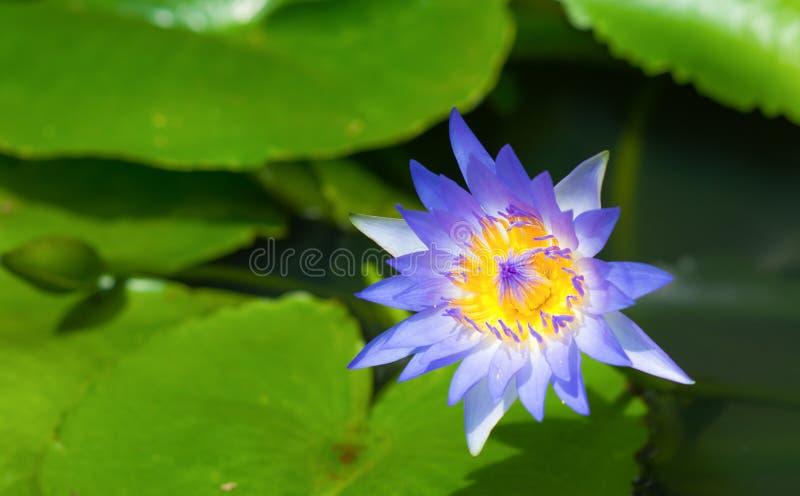 Fleur de lotus bleu-foncé (l'eau lilly) et feuille avec le foyer mou photos libres de droits