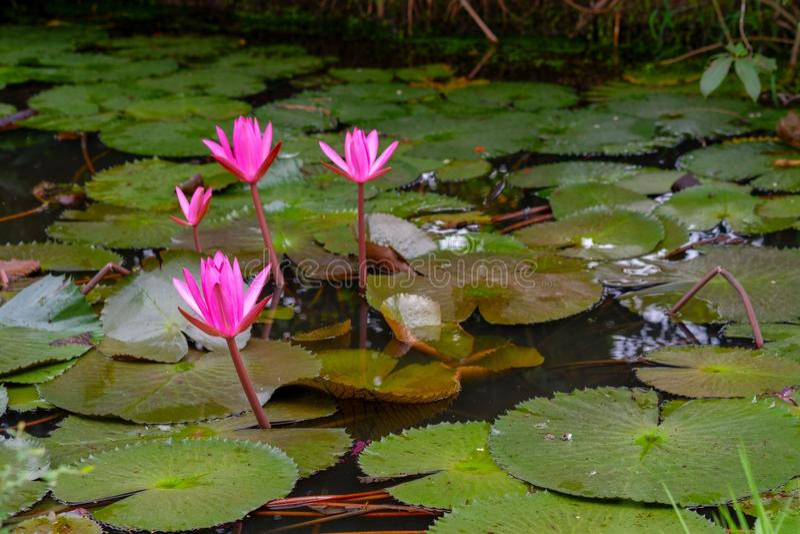Fleur de lotus de couleur rose ou fleur fraîche de nénuphar fleurissant sur le fond d'étang photographie stock libre de droits