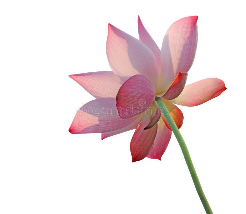 Fleur de lotus d'isolement sur le blanc images stock