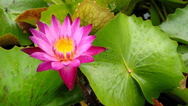 Fleur de Lotus dans des pots image libre de droits