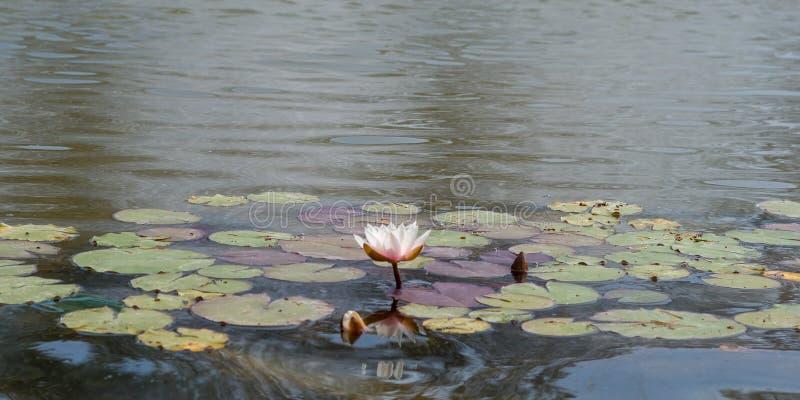 Fleur de Lotus dans l'étang photo libre de droits