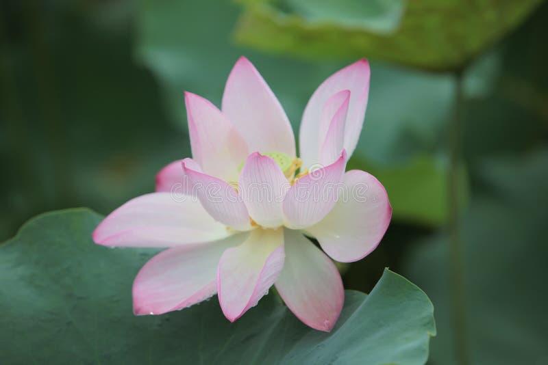 fleur de lotus dans l'étang au jour de pluie photos libres de droits