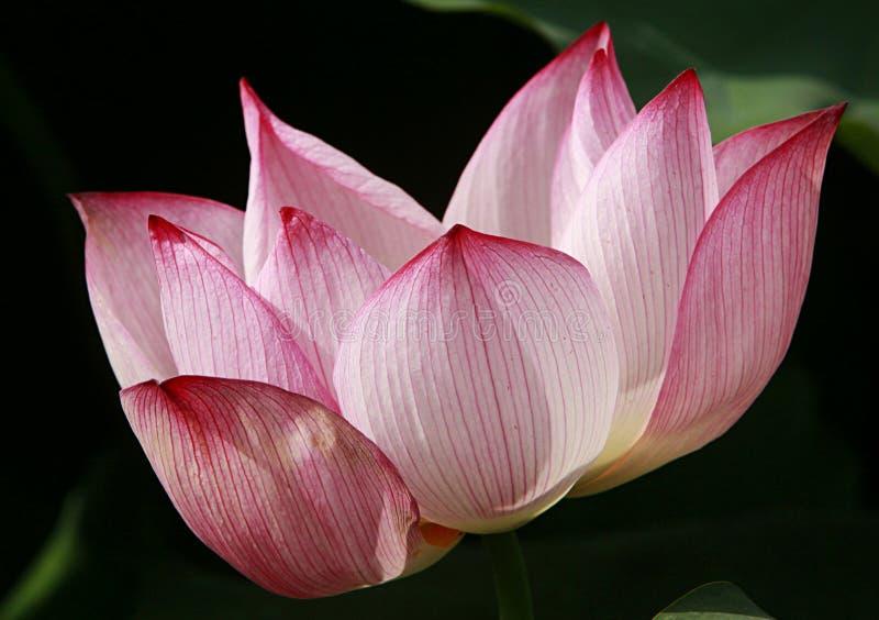 Fleur de lotus dans la fin vers le haut photo stock
