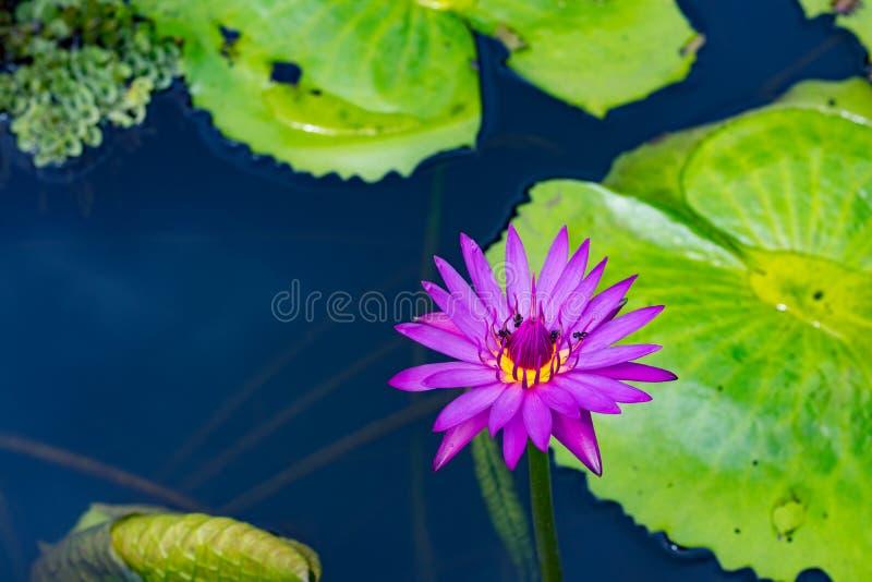 Fleur de Lotus dans la lagune photo stock