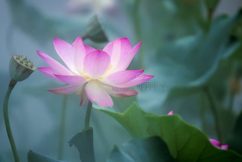 Fleur de lotus dans le brouillard photos stock