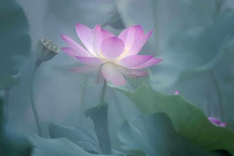 Fleur de lotus dans le brouillard photos libres de droits