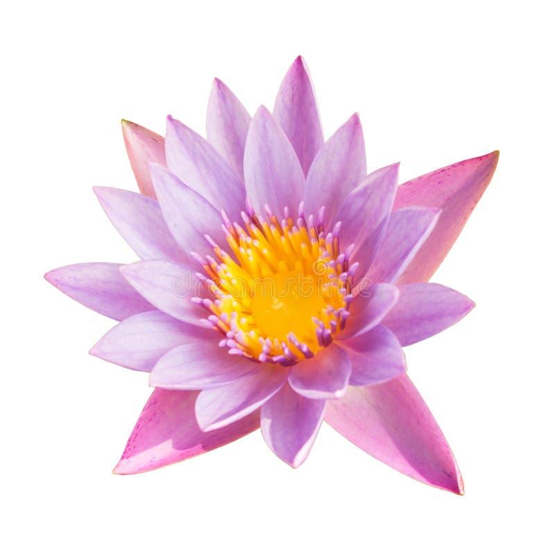 Fleur de lotus de pleine floraison d'isolement sur le blanc avec le chemin de coupure image libre de droits