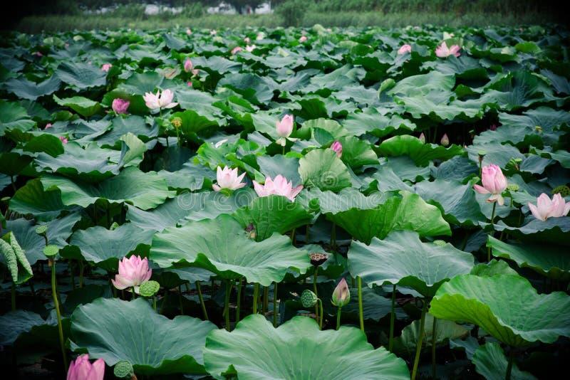 Fleur de Lotus en été photos libres de droits
