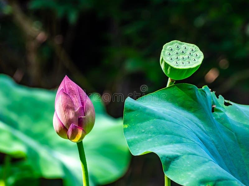 Fleur de Lotus et cosse verte de lotus photographie stock