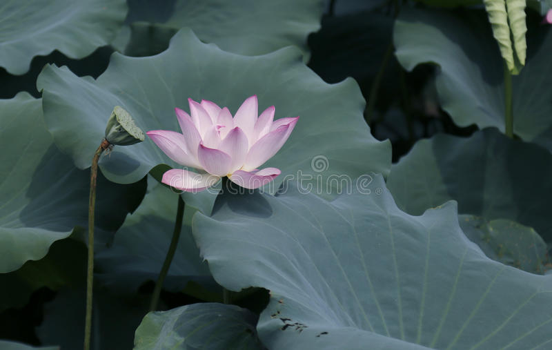 Fleur de Lotus et usines de fleur de Lotus photo stock