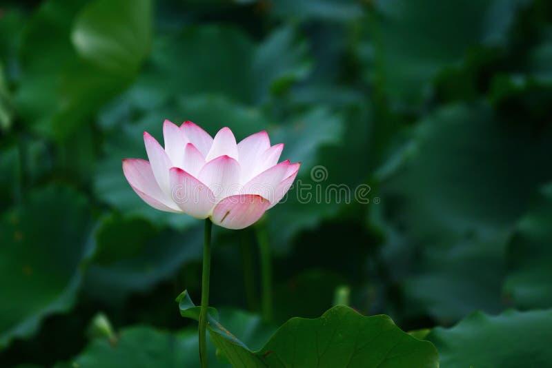 Fleur de Lotus et usines de fleur de Lotus photographie stock libre de droits
