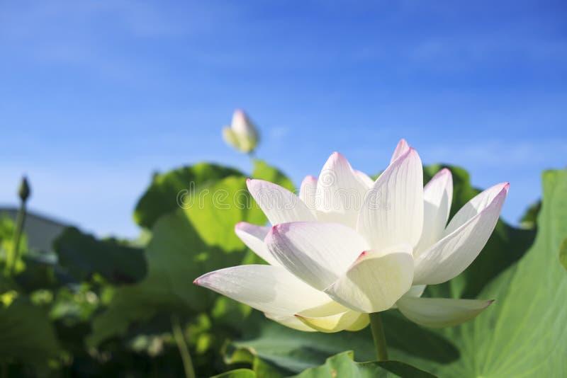 Fleur de Lotus et usines de fleur de Lotus image libre de droits