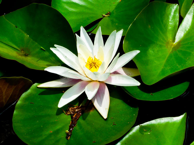 Fleur de Lotus fleurissant sur la montagne de Laoshan photos libres de droits