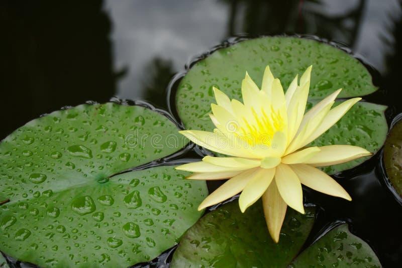 Fleur de lotus jaune photo stock