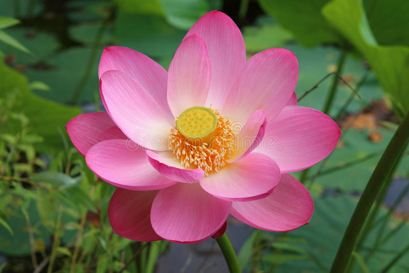 Fleur de lotus Komarova photos libres de droits