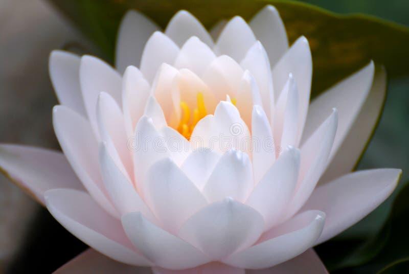 Fleur de Lotus ou nouchali jaune de Nymphaea photo libre de droits