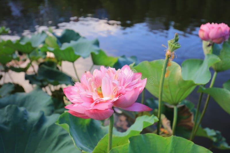 fleur de lotus par réflexion du lac photographie stock libre de droits
