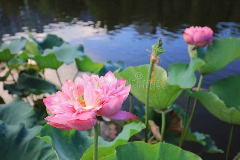 fleur de lotus par réflexion du lac photo libre de droits