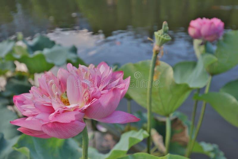 fleur de lotus par réflexion du lac photo stock