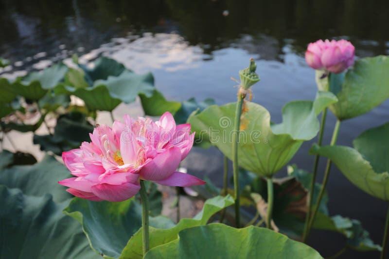 fleur de lotus par réflexion du lac images libres de droits