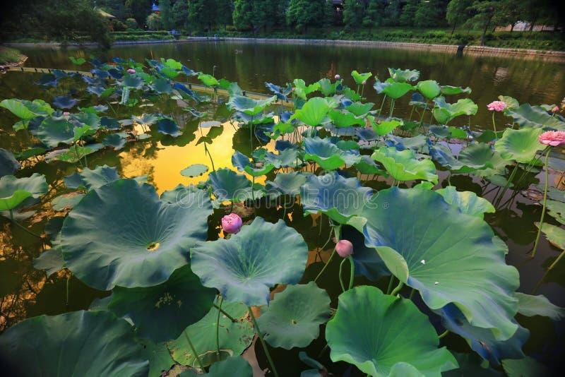 fleur de lotus par réflexion du lac photos libres de droits