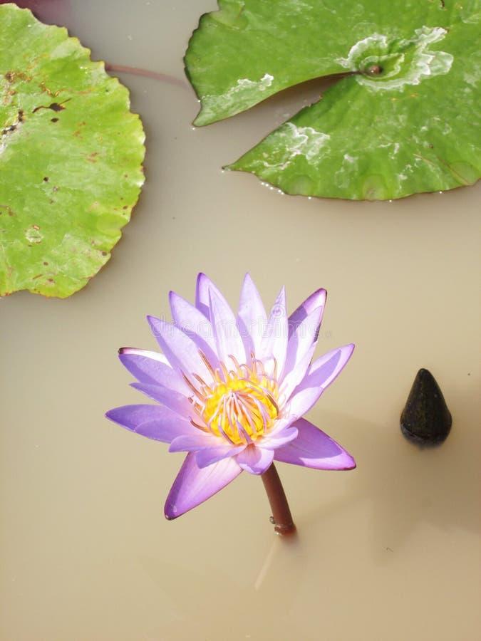 Fleur de lotus pourprée photos stock