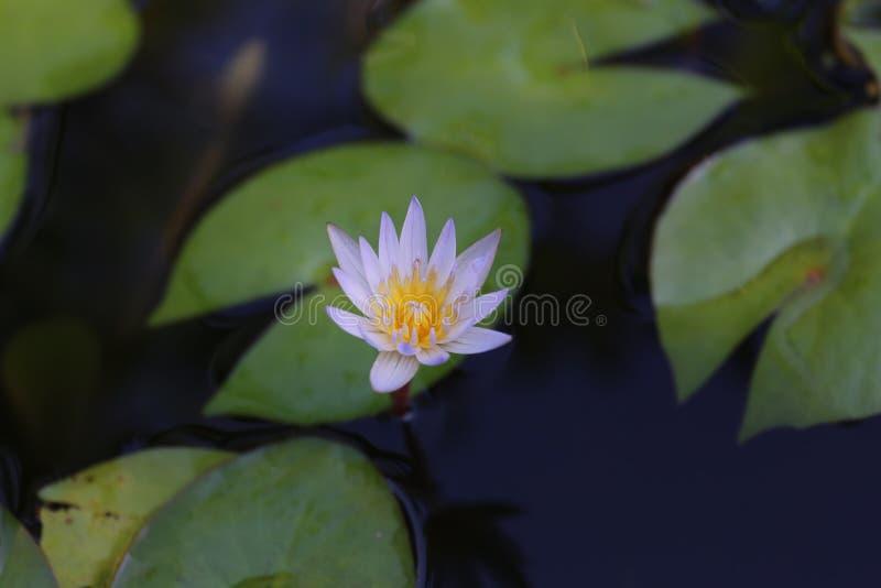 Fleur de lotus pourprée image libre de droits