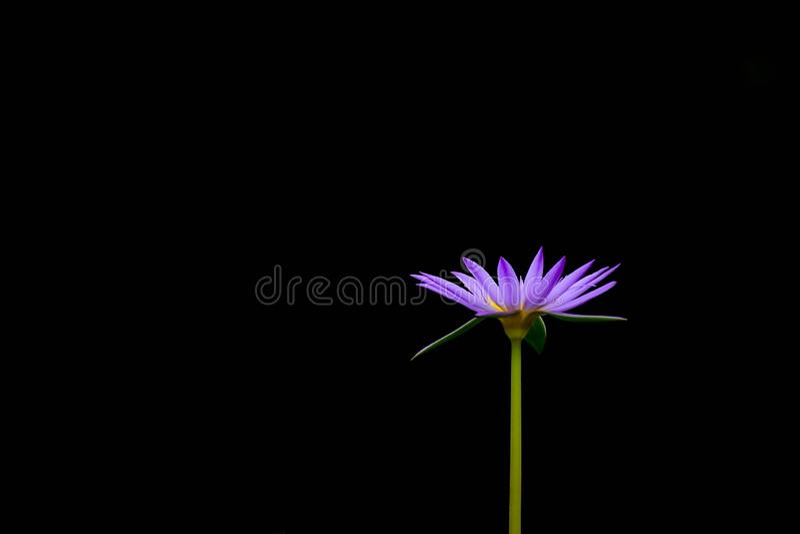 Fleur de lotus pourpre d'isolement sur le fond noir image stock