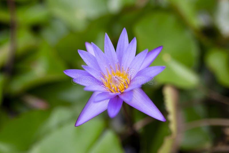 Fleur de Lotus pourpre simple photographie stock libre de droits