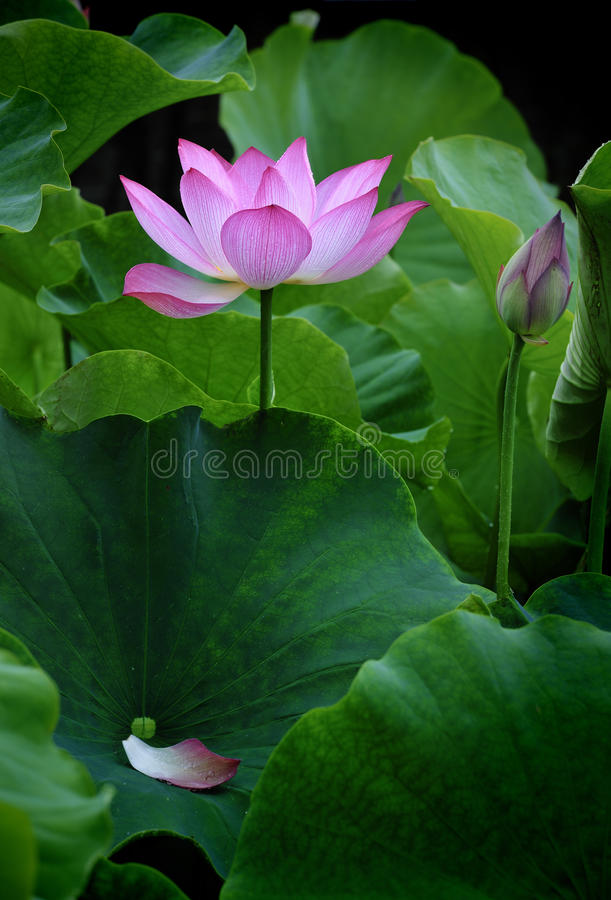 Fleur de lotus - pure photo stock