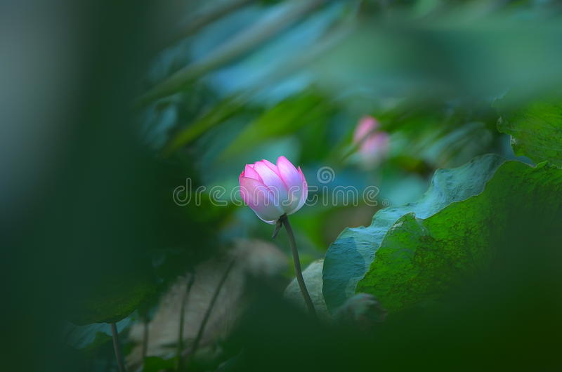 Fleur de lotus rose photographie stock libre de droits