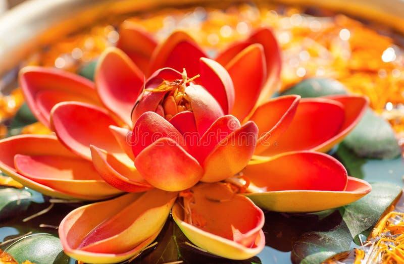 Fleur de Lotus rose dans la cuvette avec de l'eau l'eau douce Usine sacrée dans l'hindouisme et le bouddhisme photo libre de droits