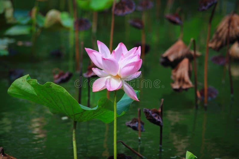 Fleur de lotus rose de floraison image libre de droits