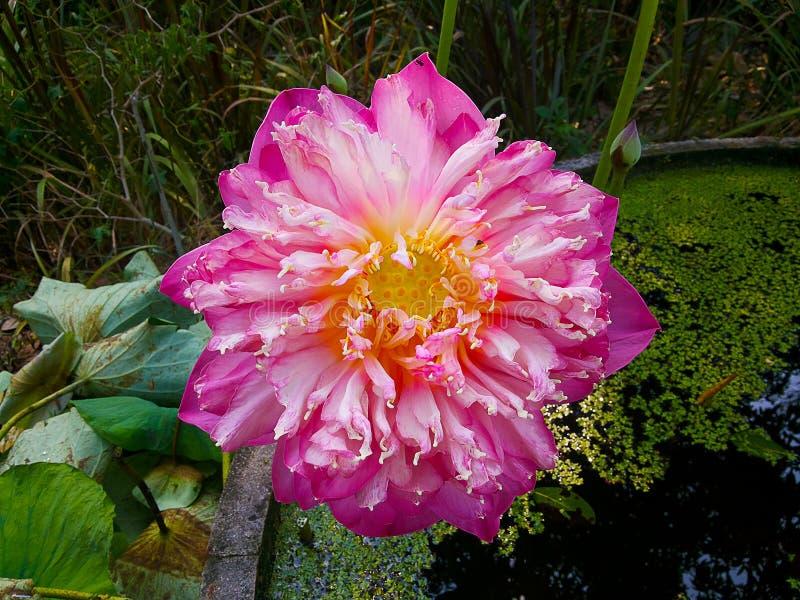 Fleur de lotus rose de floraison photographie stock libre de droits