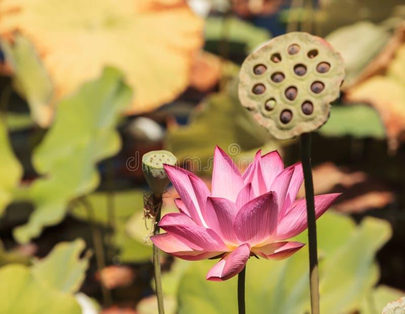 Fleur de lotus rose et jaune photo libre de droits