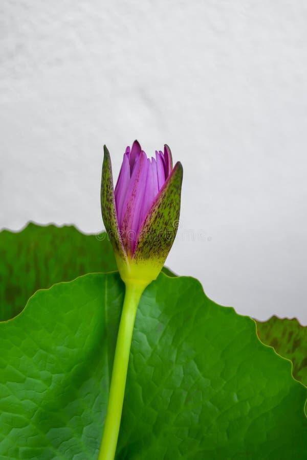 Fleur de Lotus sur l'eau images libres de droits