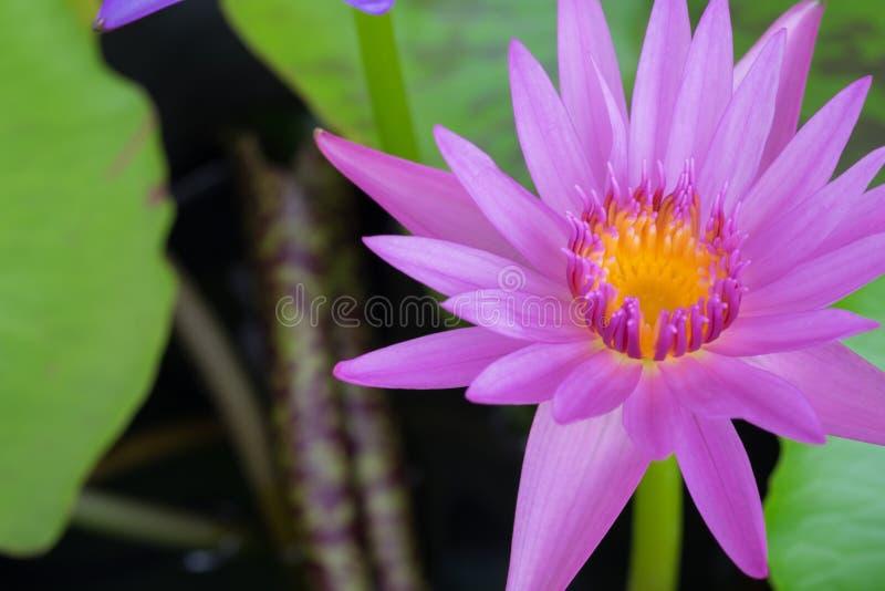 Fleur de Lotus sur l'eau photographie stock libre de droits