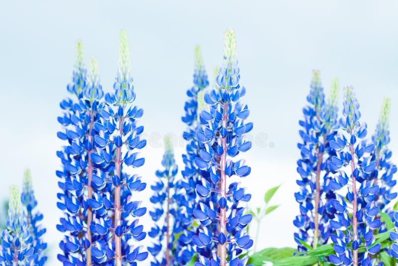 Fleur de loup bleue avec le ciel bleu photographie stock