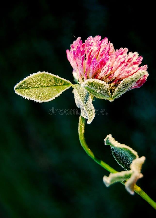 Fleur de luzerne images stock