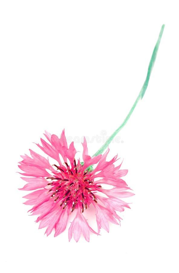 Fleur de maïs image stock