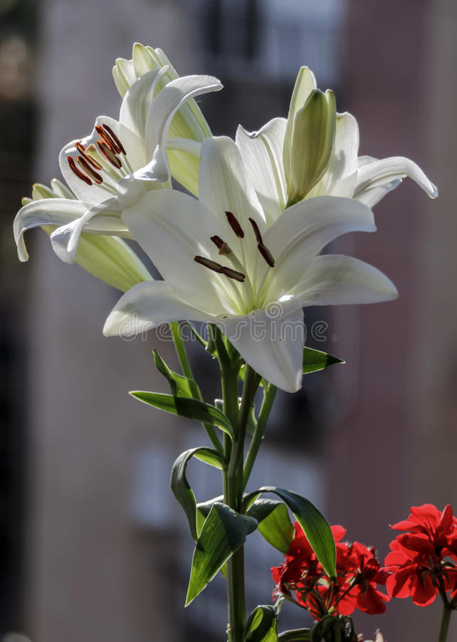 Fleur de Madonna Lilly photo stock