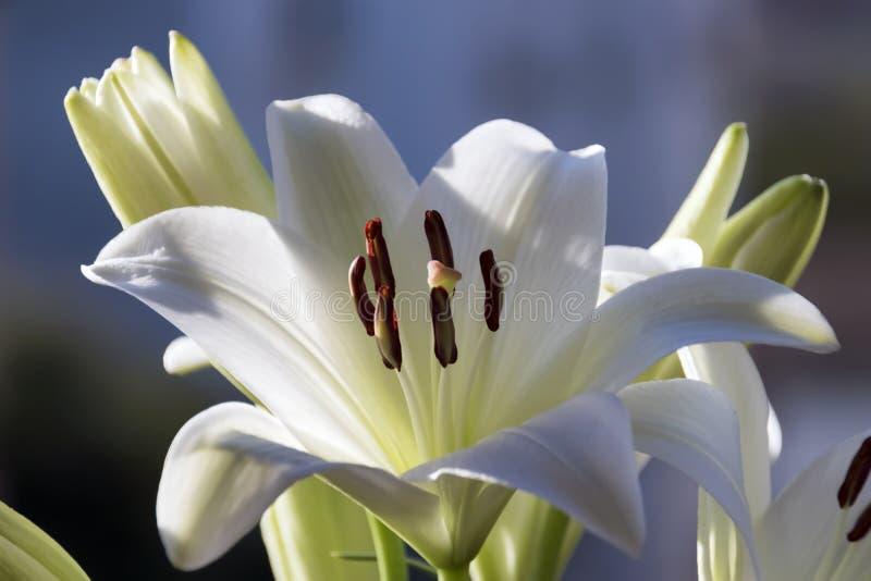 Fleur de Madonna Lilly photographie stock libre de droits