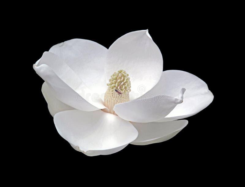 Fleur de magnolia avec la luciole image stock