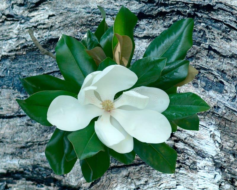 Fleur de magnolia sur le fond de bois de flottage photo libre de droits