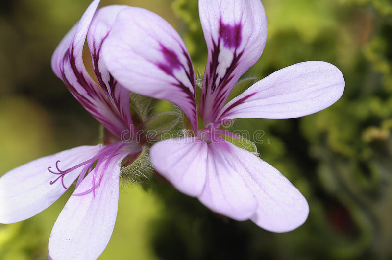 Fleur de Malva photo libre de droits