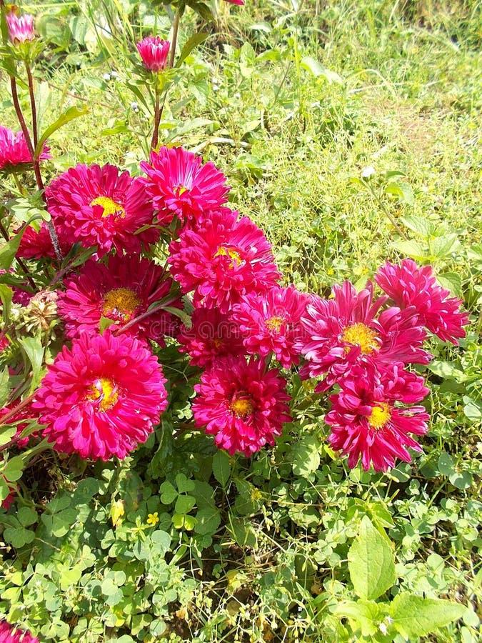 Fleur de mamans images libres de droits