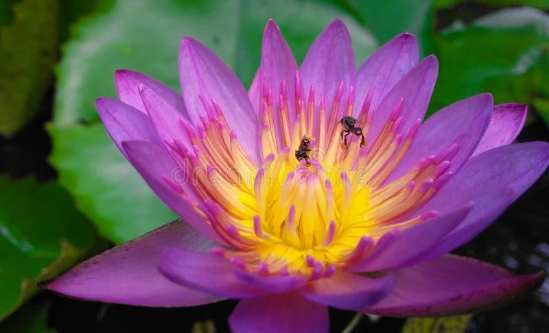 Fleur de Manel de zéro images stock