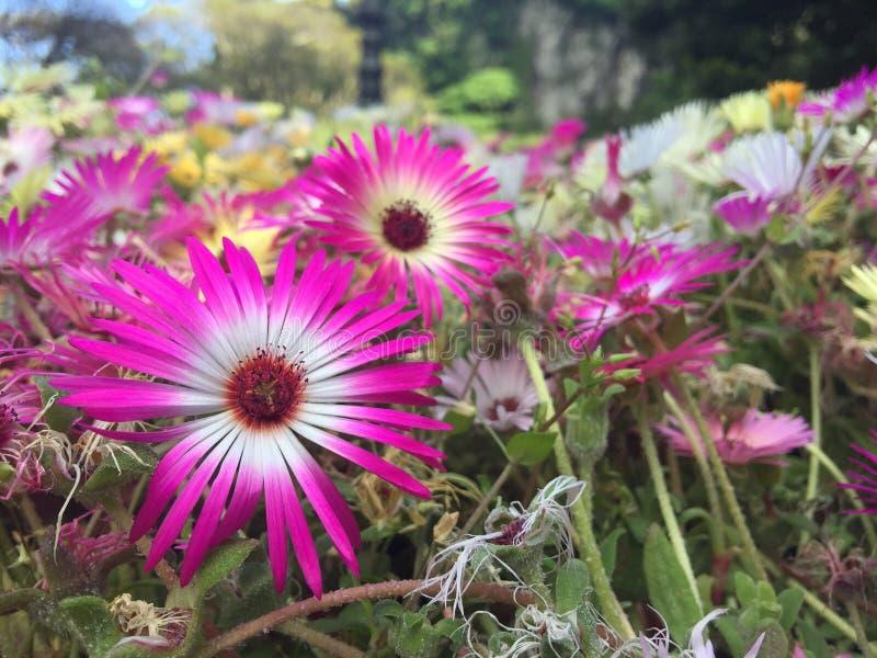 Fleur de marguerite à Jeju Corée du Sud image stock